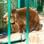 Серый медведь (гризли)
