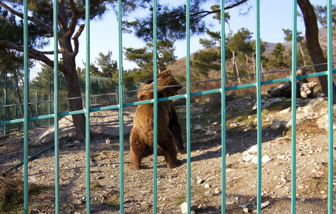 Поединок бурых медведей