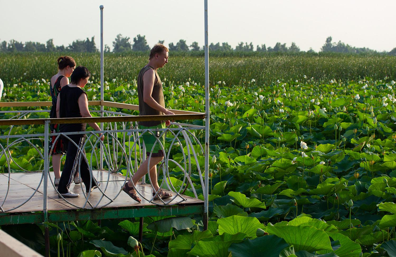 Фото лотосы в краснодарском крае
