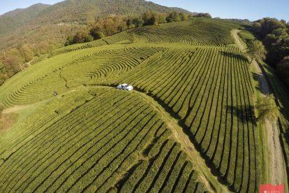 """Чайные плантации """"Мацеста чай"""", Измайловка, Сочи"""