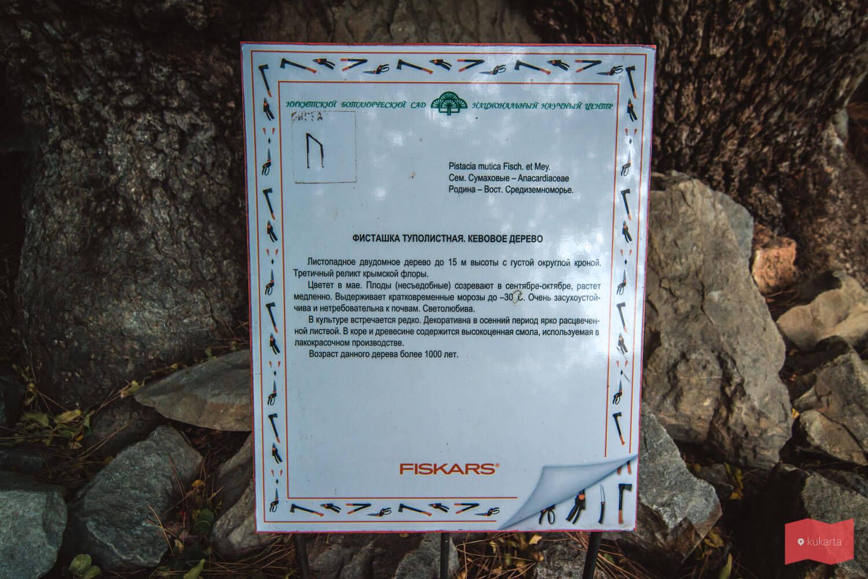 Фисташка туполистная. Никитский ботанический сад, Ялта